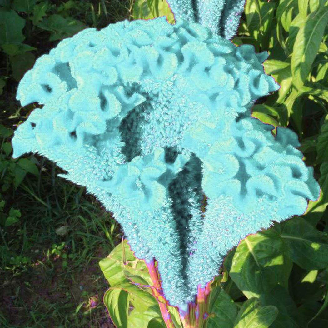 ANNUAL BUTTERFLY MAGNET 30+ CELOSIA CRAMERS/' AMAZON FLOWER SEEDS VERY TALL